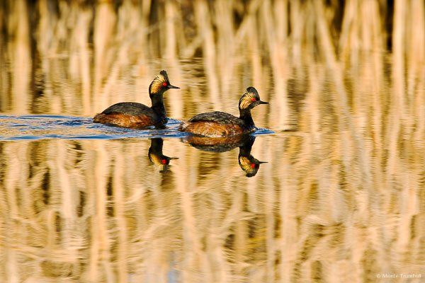 A pair of eared greebes swim across reflecting water at the Monte Vista National Wildlife Refuge in southern Colorado.