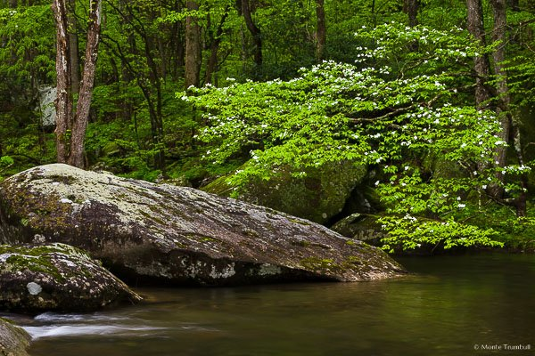 A flowering white dogwood tree and the brilliant spring green forest reflects in the rushing water of the Middle Fork Little River in Great Smoky Mountains National Park in Tennessee.